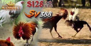 S128 Adu Ayam
